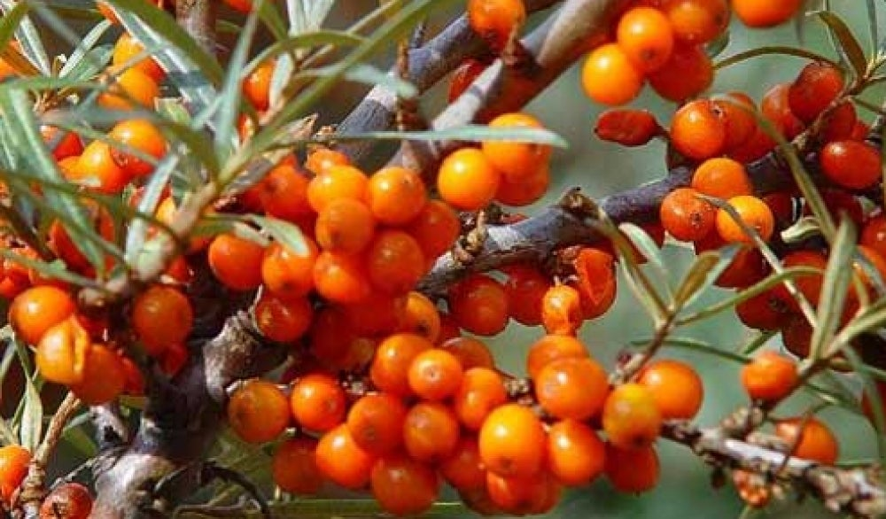 sea buckthorn 5
